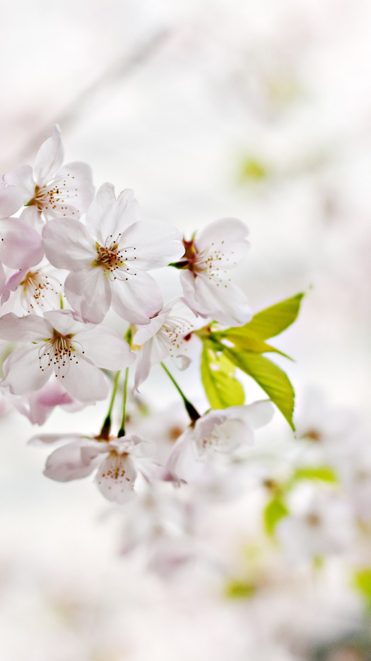 Cherry Blossoms. Flowers of Spring wallpaper 750x1334