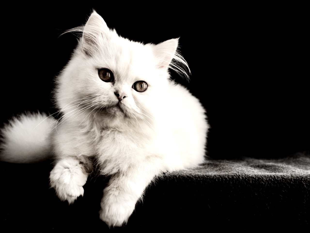 White cat wallpaper 1280x960
