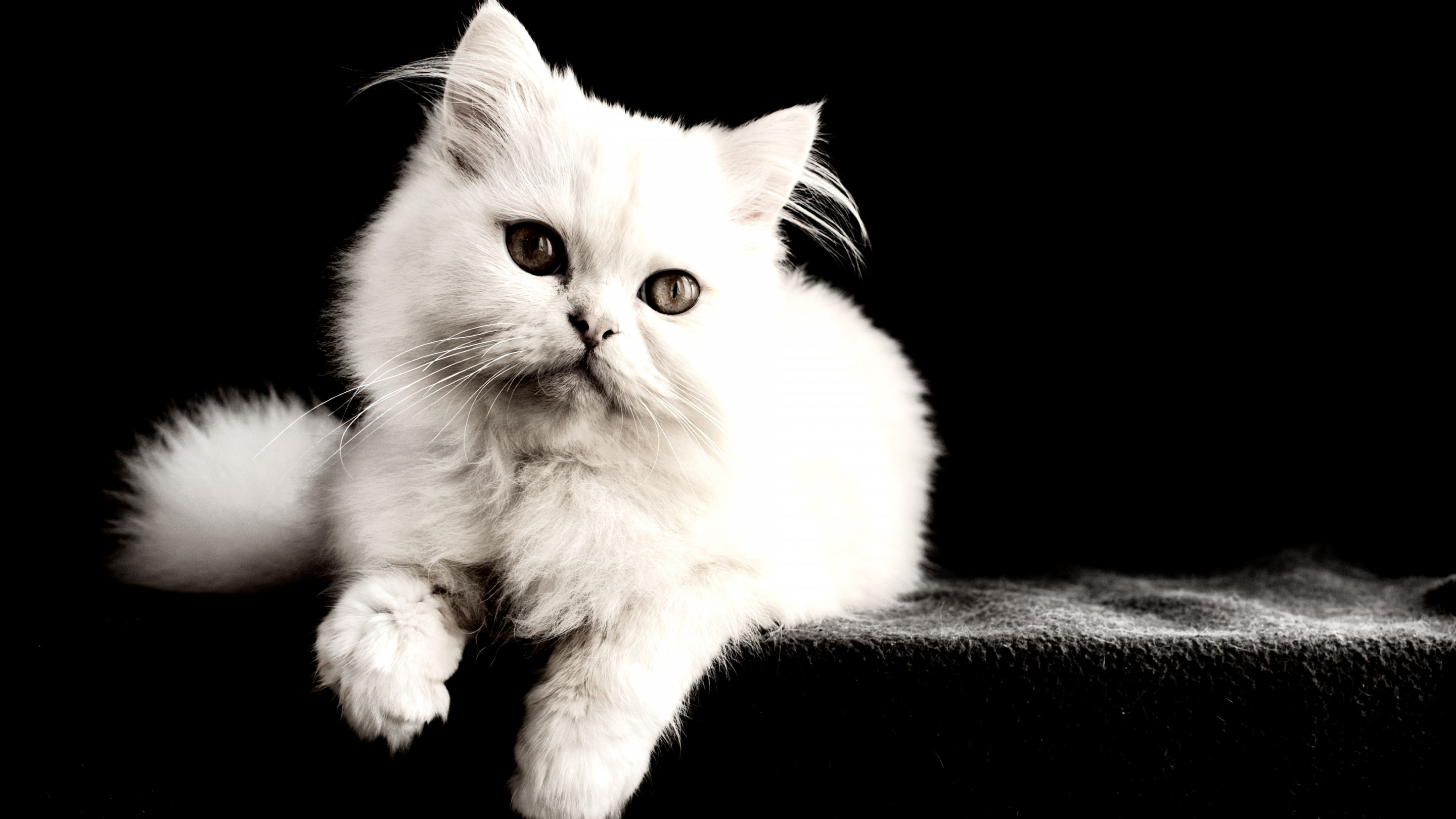 White cat wallpaper 2880x1620