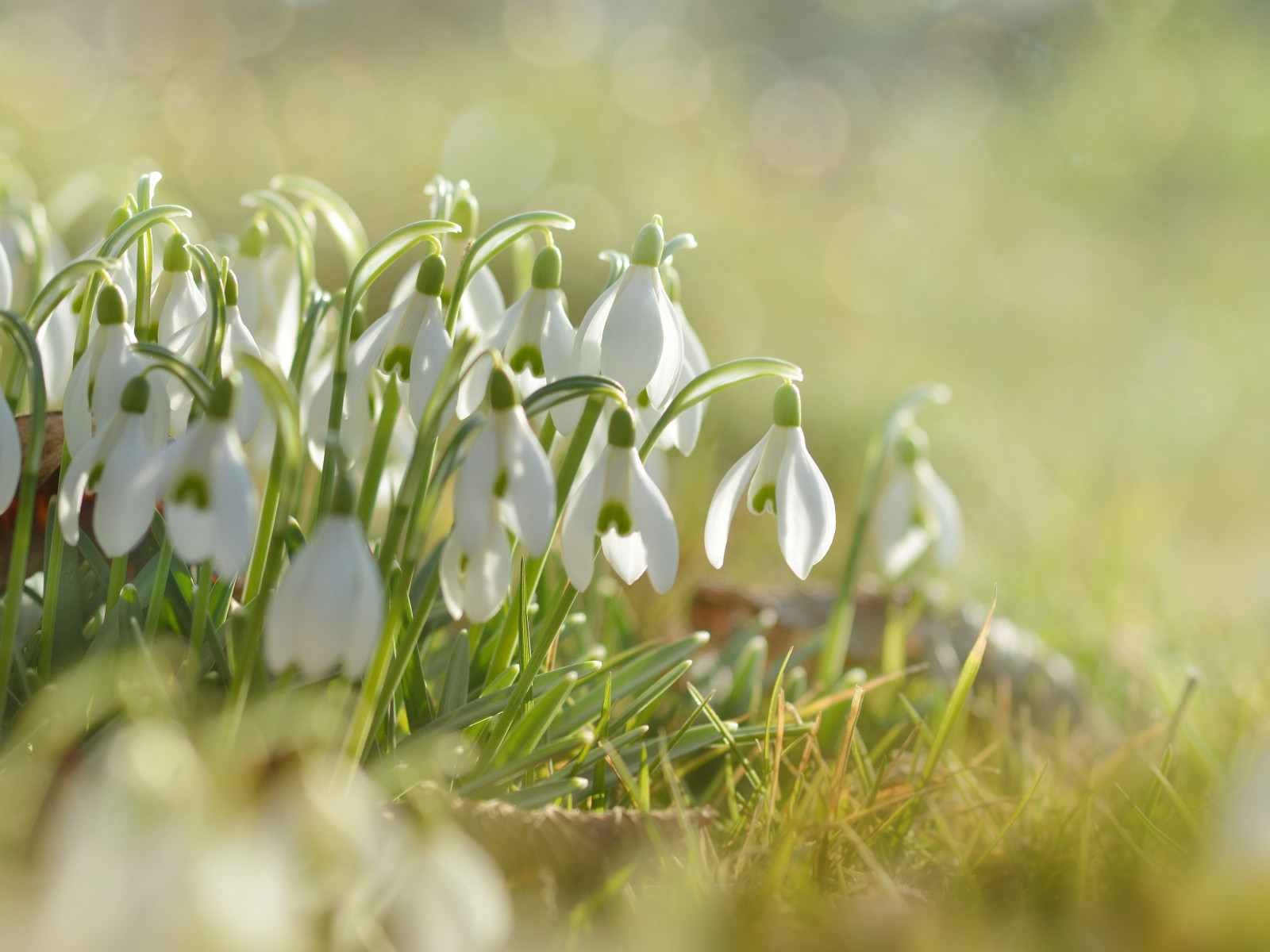 Snowdrops wallpaper 1600x1200