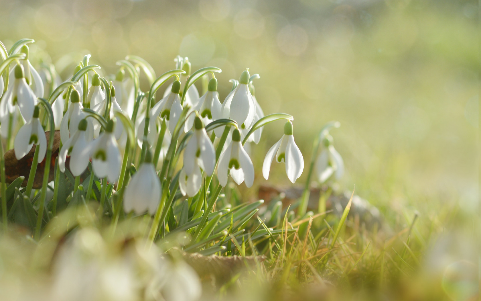 Snowdrops wallpaper 1680x1050