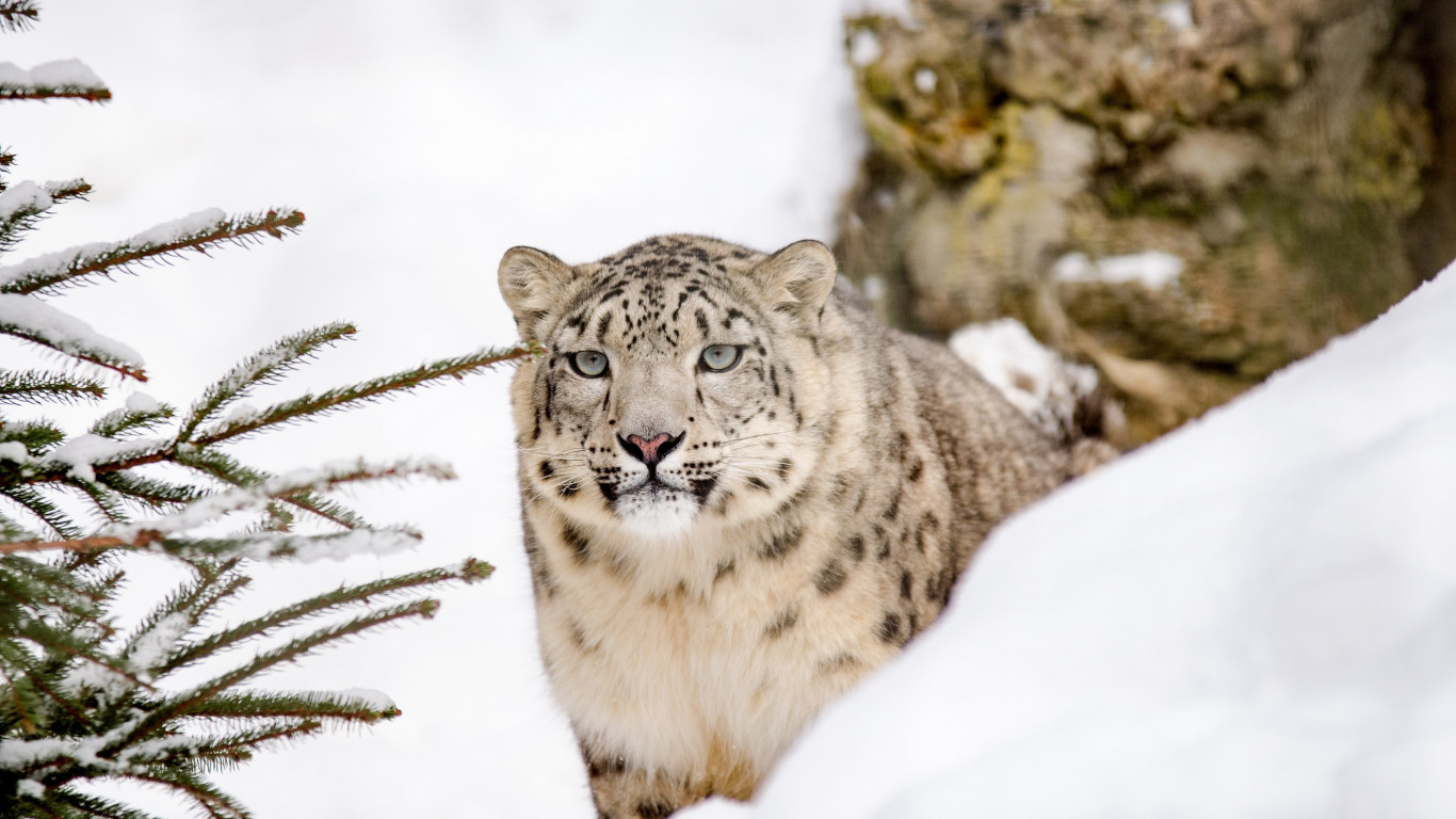 Snow leopard | 1366x768 wallpaper
