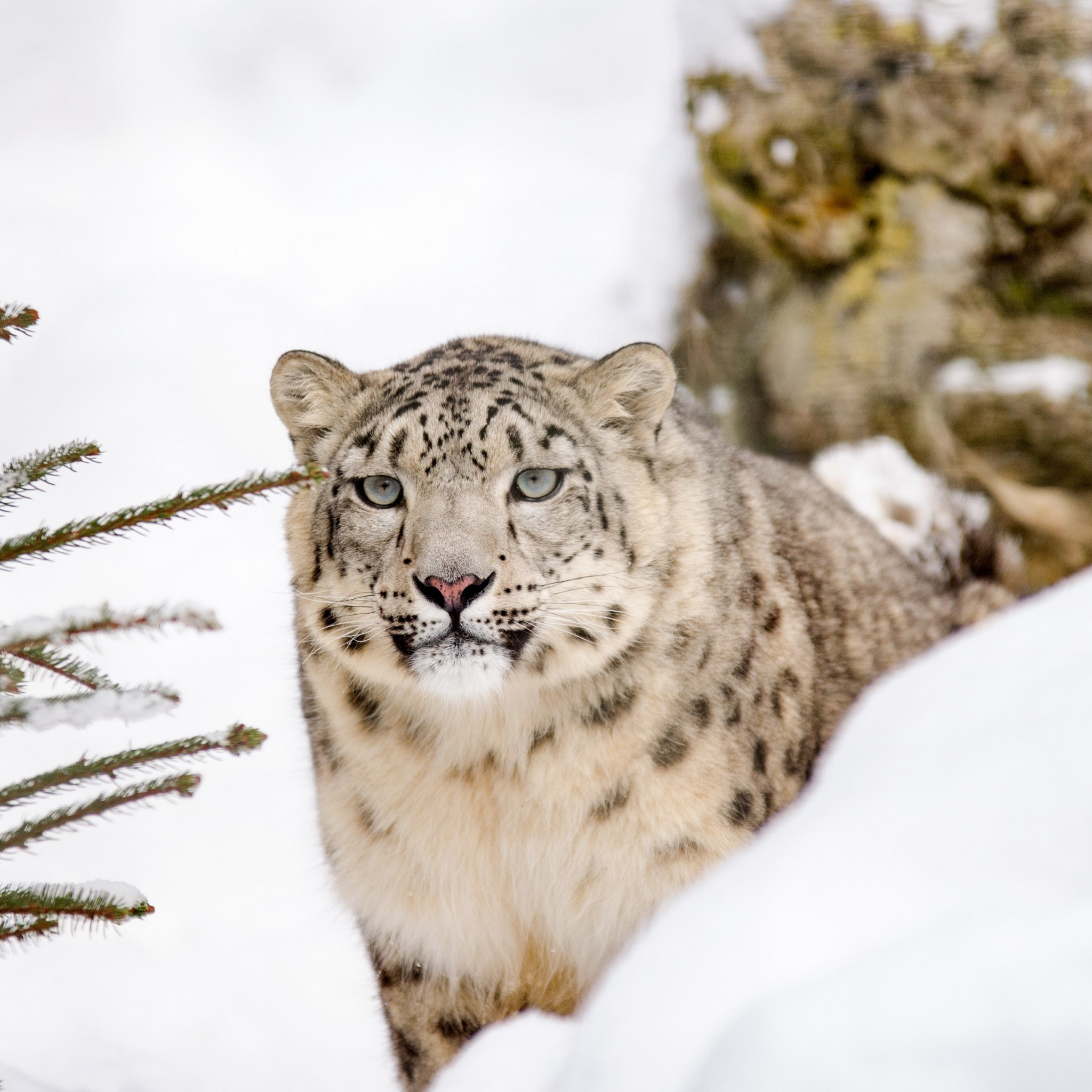 Snow leopard wallpaper 2048x2048
