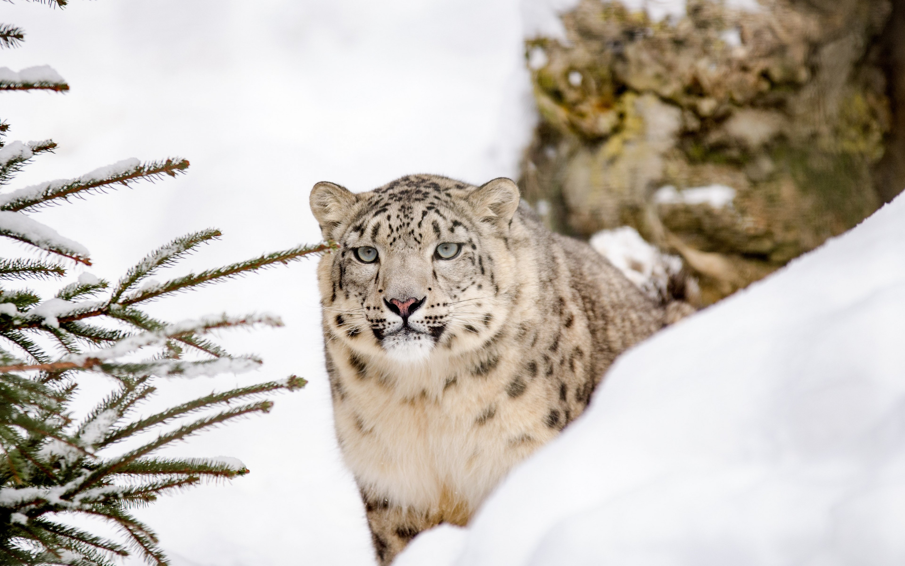 Snow leopard | 2880x1800 wallpaper