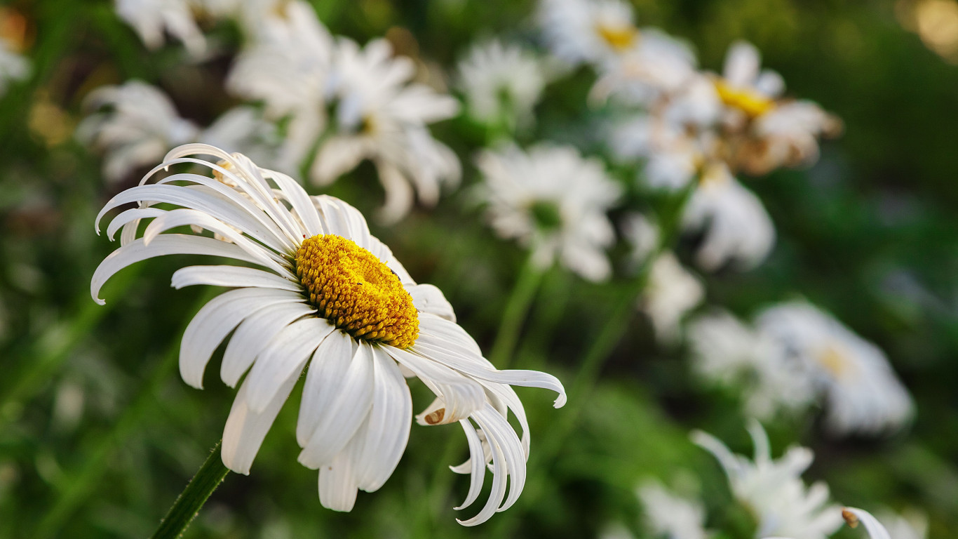 Daisy flower wallpaper 1366x768