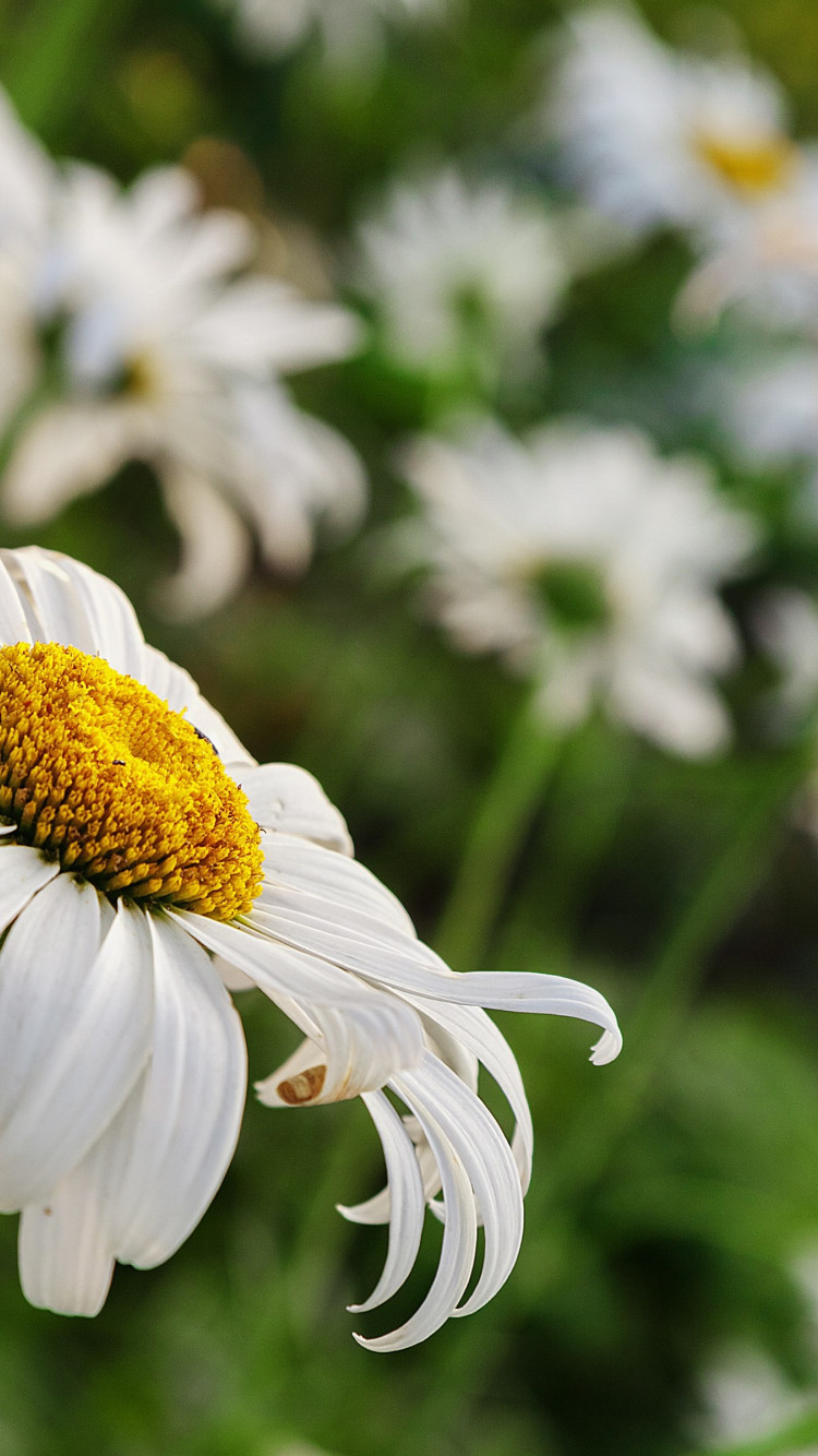 Daisy flower wallpaper 750x1334