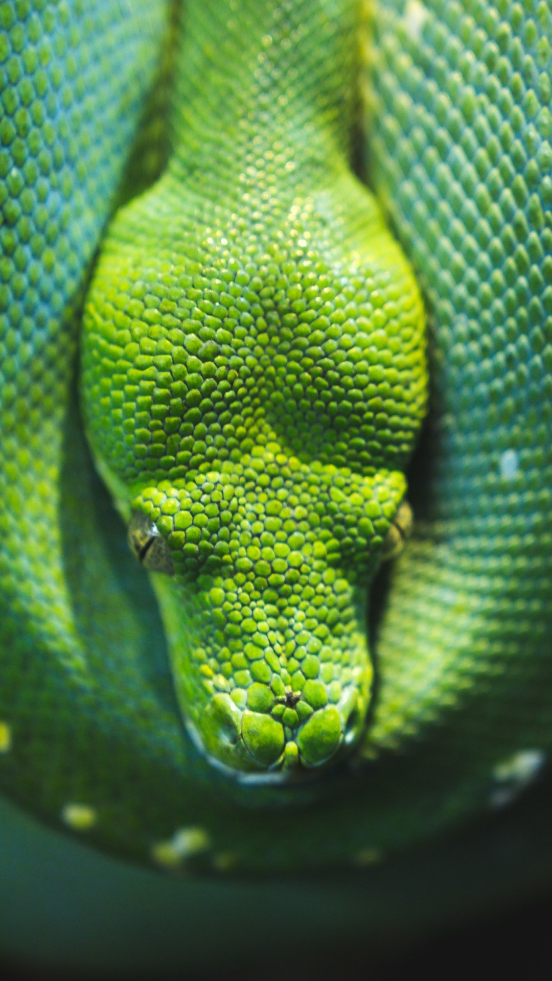 Green Tree snake python wallpaper 1080x1920