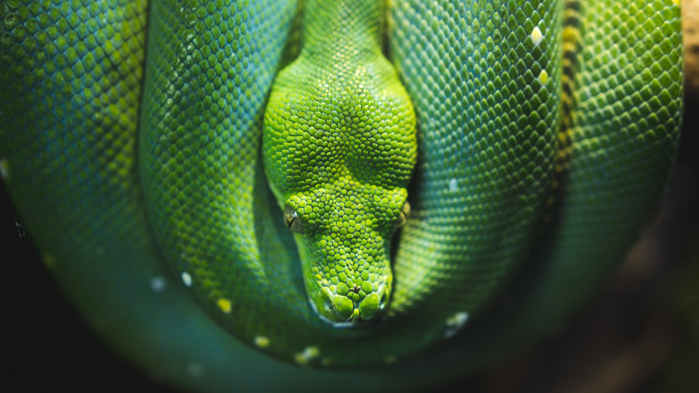 Green Tree snake python | 1366x768 wallpaper