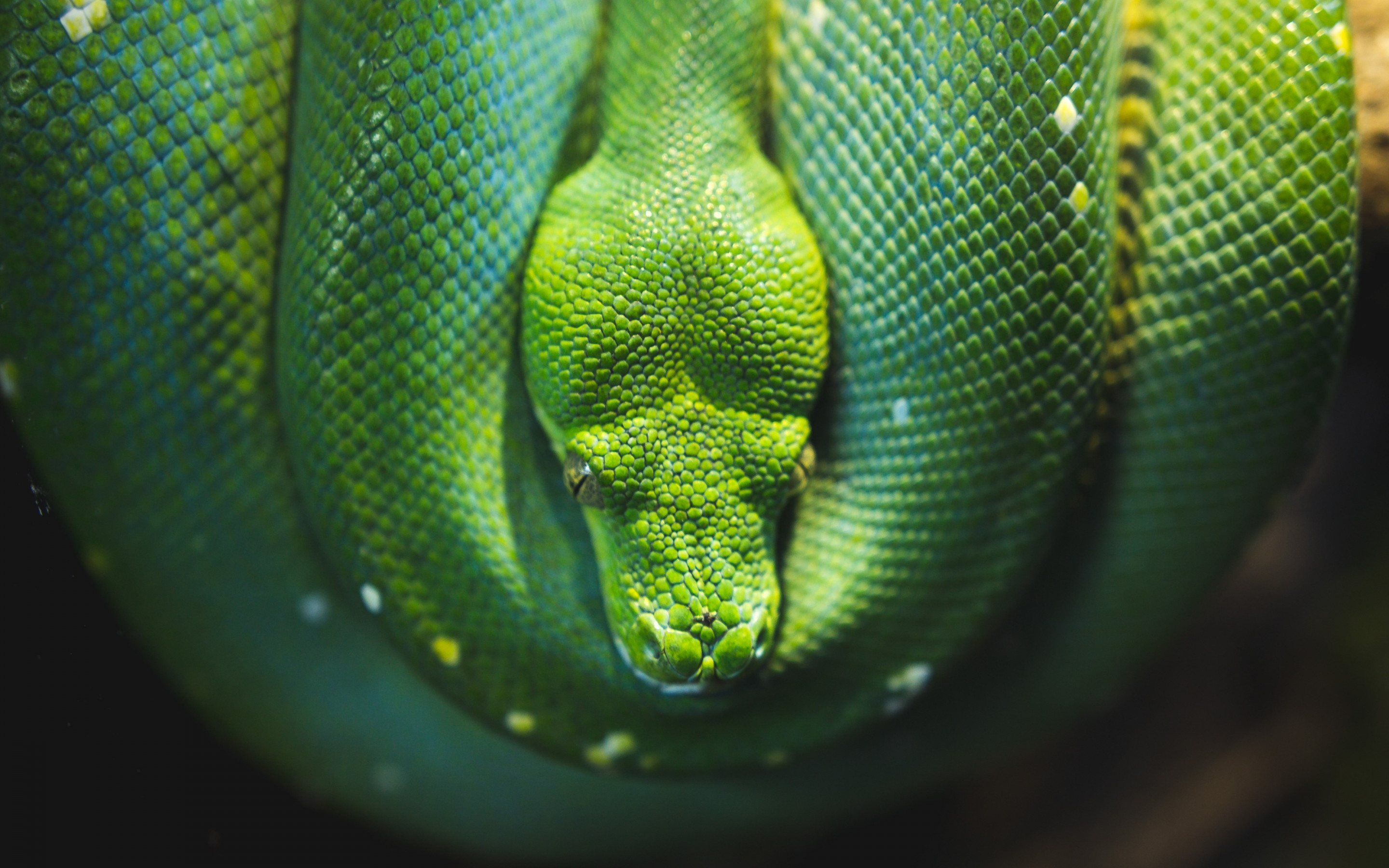 Green Tree snake python wallpaper 2880x1800