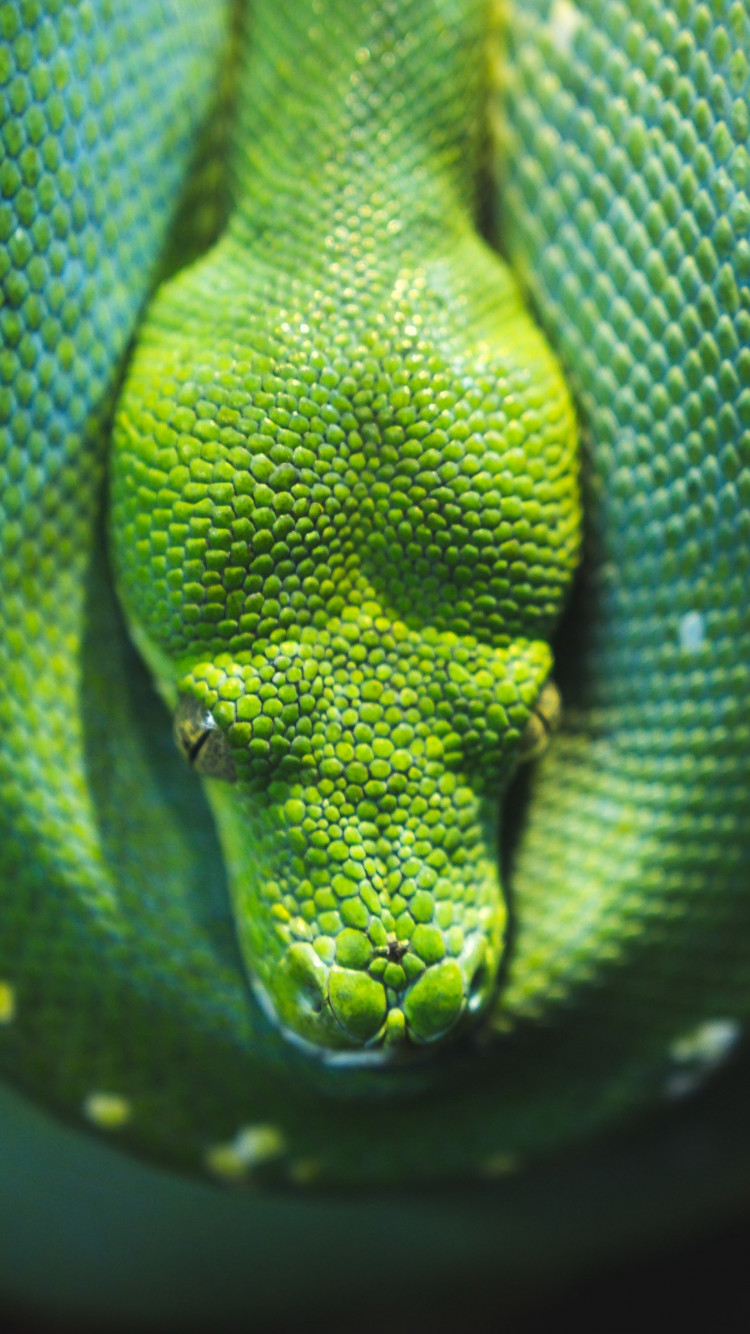 Green Tree snake python wallpaper 750x1334