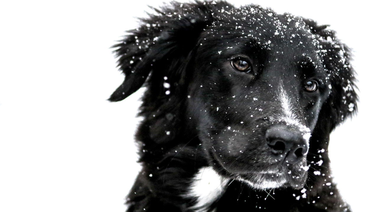 Snowing over the cute dog wallpaper 1280x720
