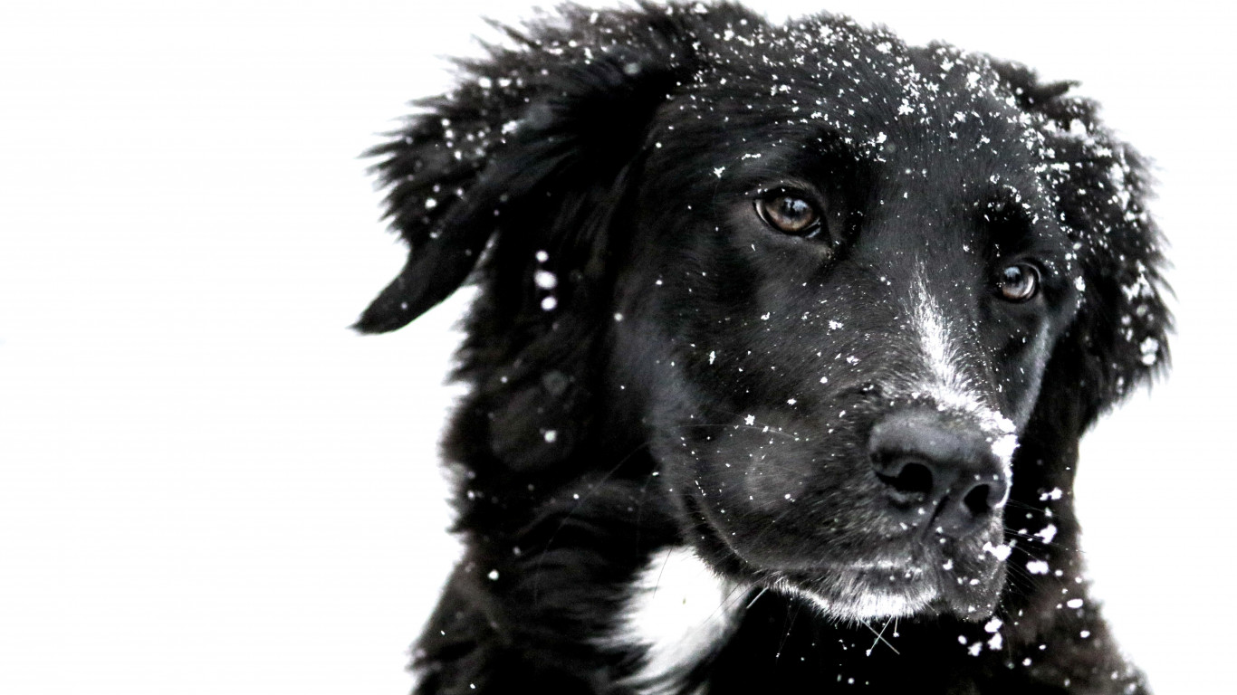 Snowing over the cute dog wallpaper 1366x768