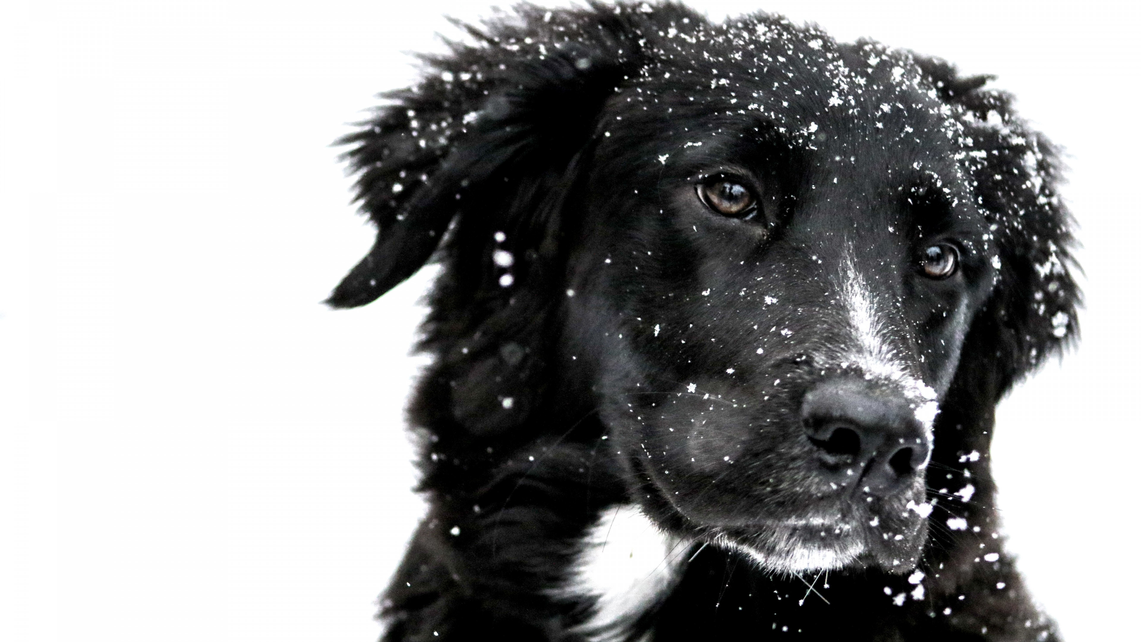 Snowing over the cute dog wallpaper 3840x2160