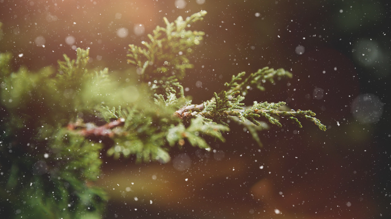 Snowflakes over the pine branch wallpaper 1280x720