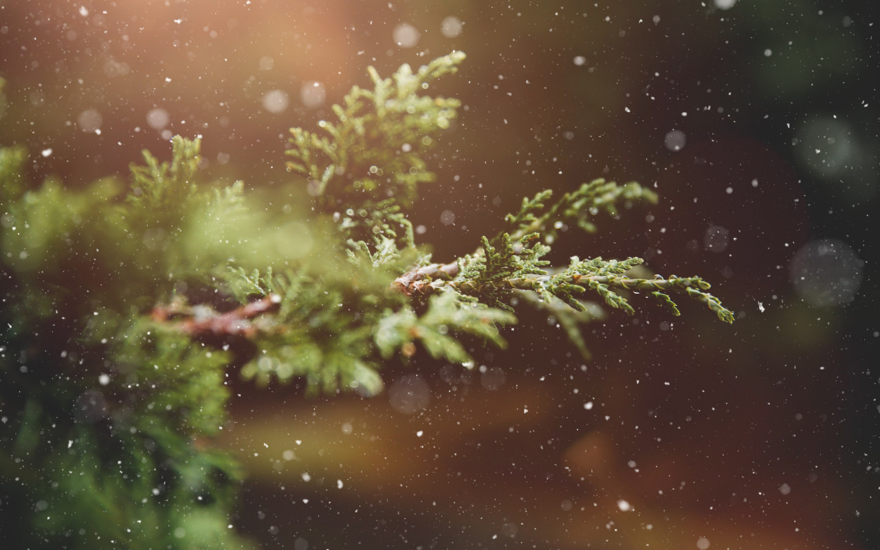 Snowflakes over the pine branch | 1280x800 wallpaper