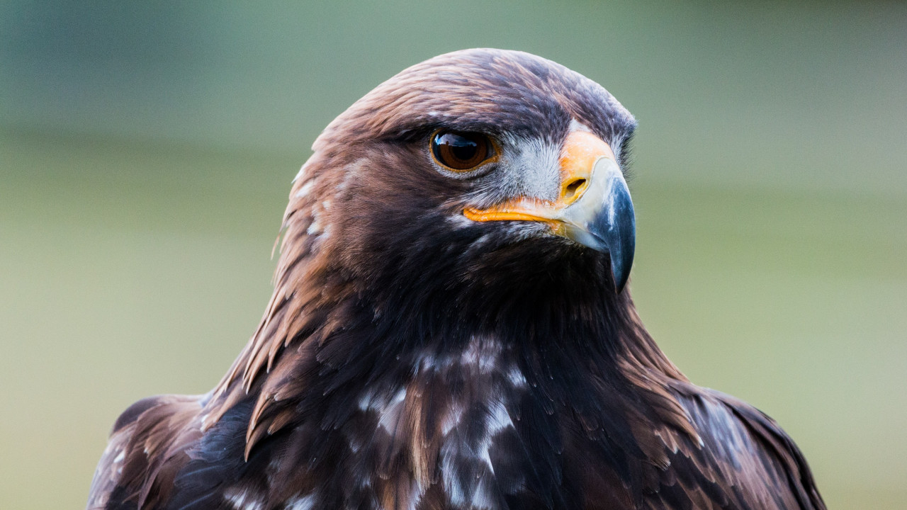 Golden eagle portrait wallpaper 1280x720