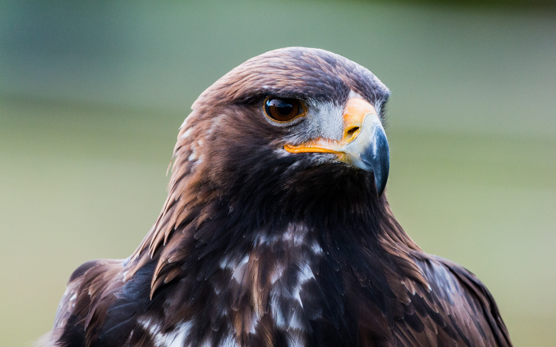 Golden eagle portrait wallpaper 1920x1200
