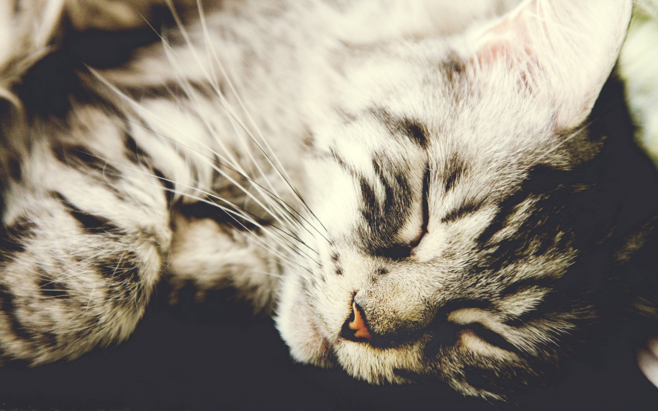 Sleeping kitten wallpaper 1280x800