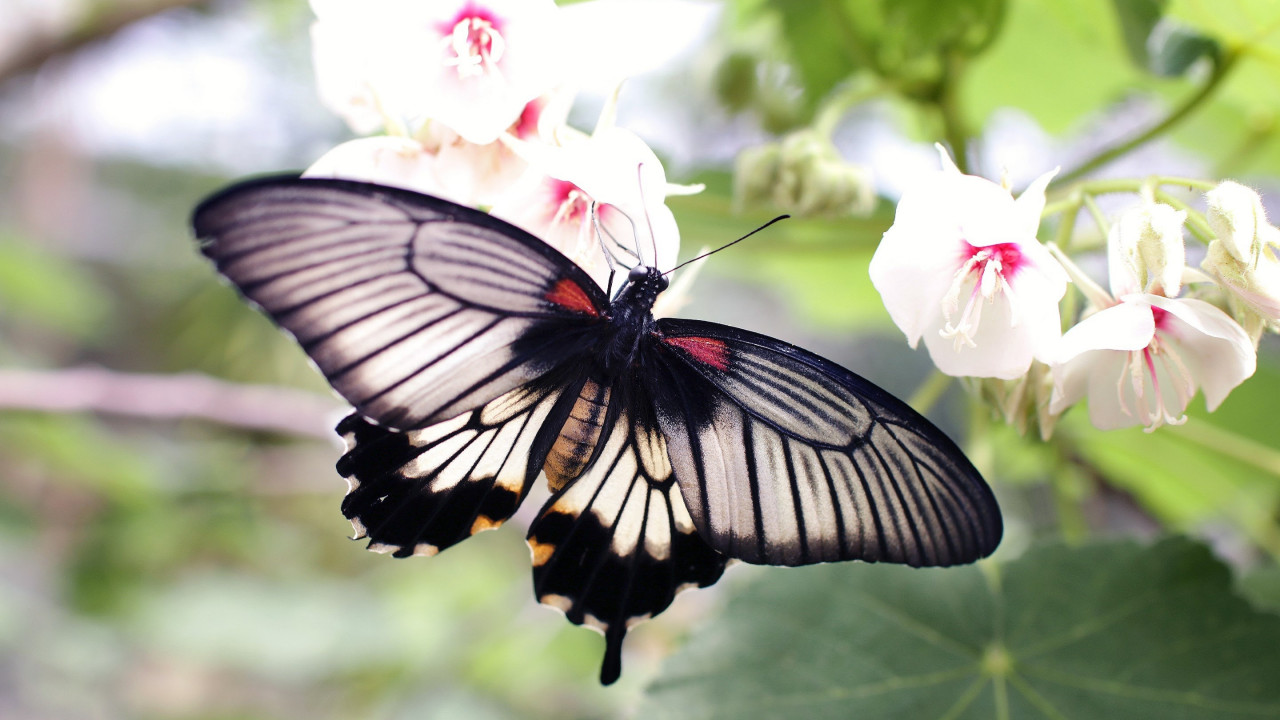 Butterfly on a white flowers wallpaper 1280x720