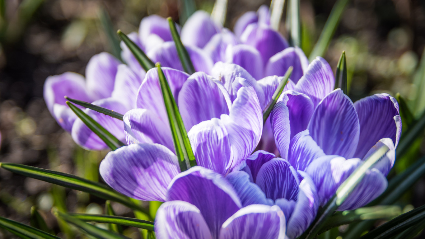 Crocuses | 1366x768 wallpaper