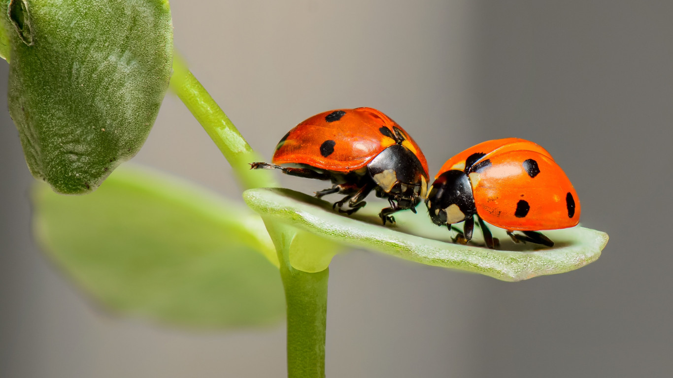 Ladybird, the insect | 1366x768 wallpaper