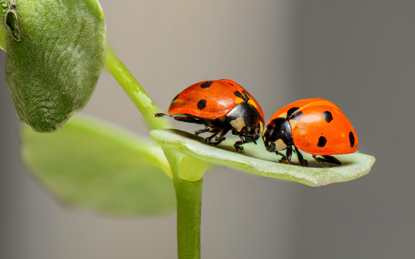 Ladybird, the insect wallpaper 1440x900