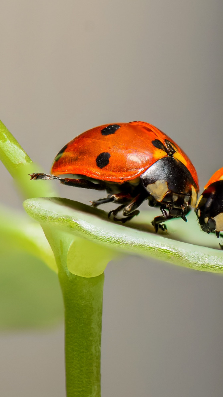 Ladybird, the insect wallpaper 750x1334