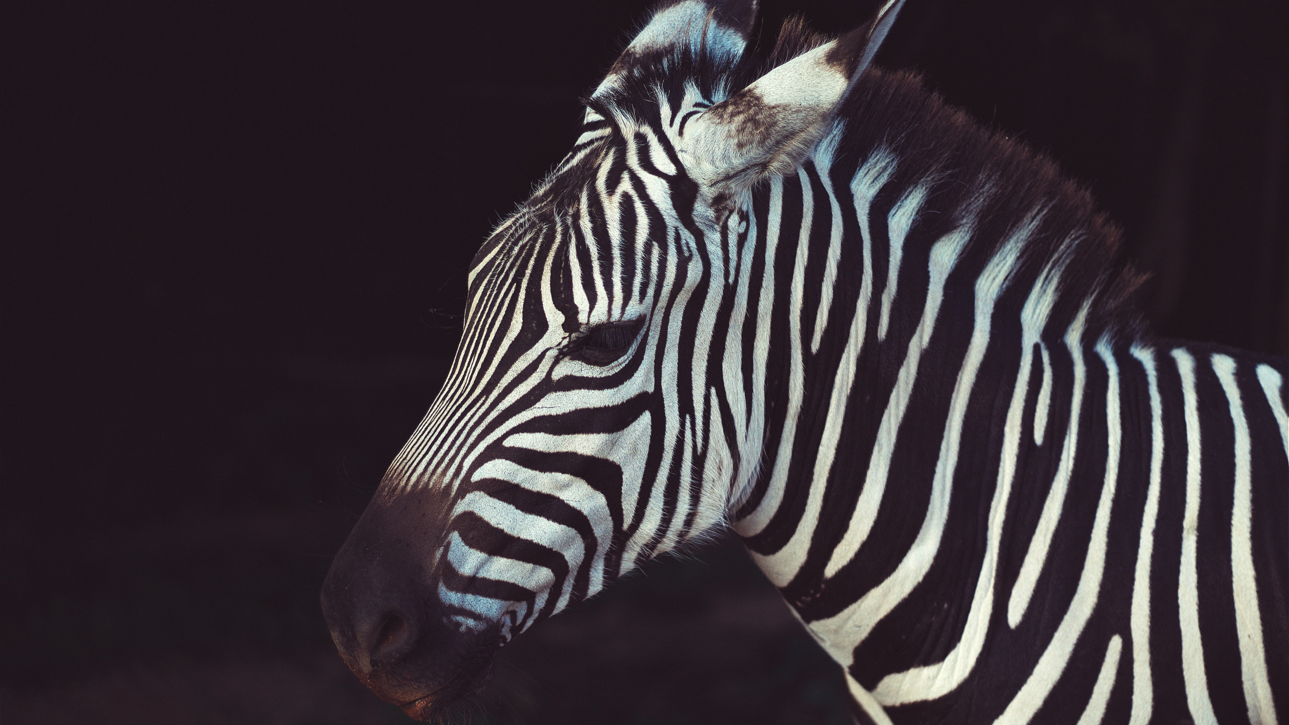 Zebra portrait from Greeneville Zoo, USA | 2560x1440 wallpaper
