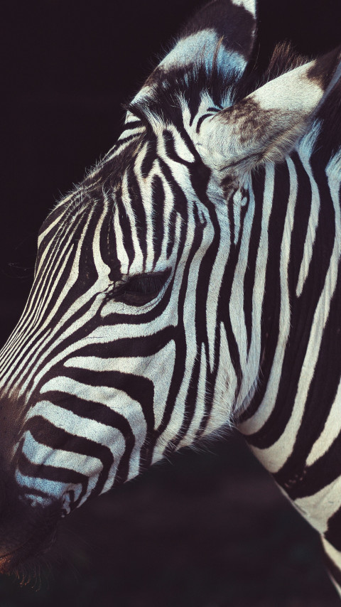 Zebra portrait from Greeneville Zoo, USA | 480x854 wallpaper
