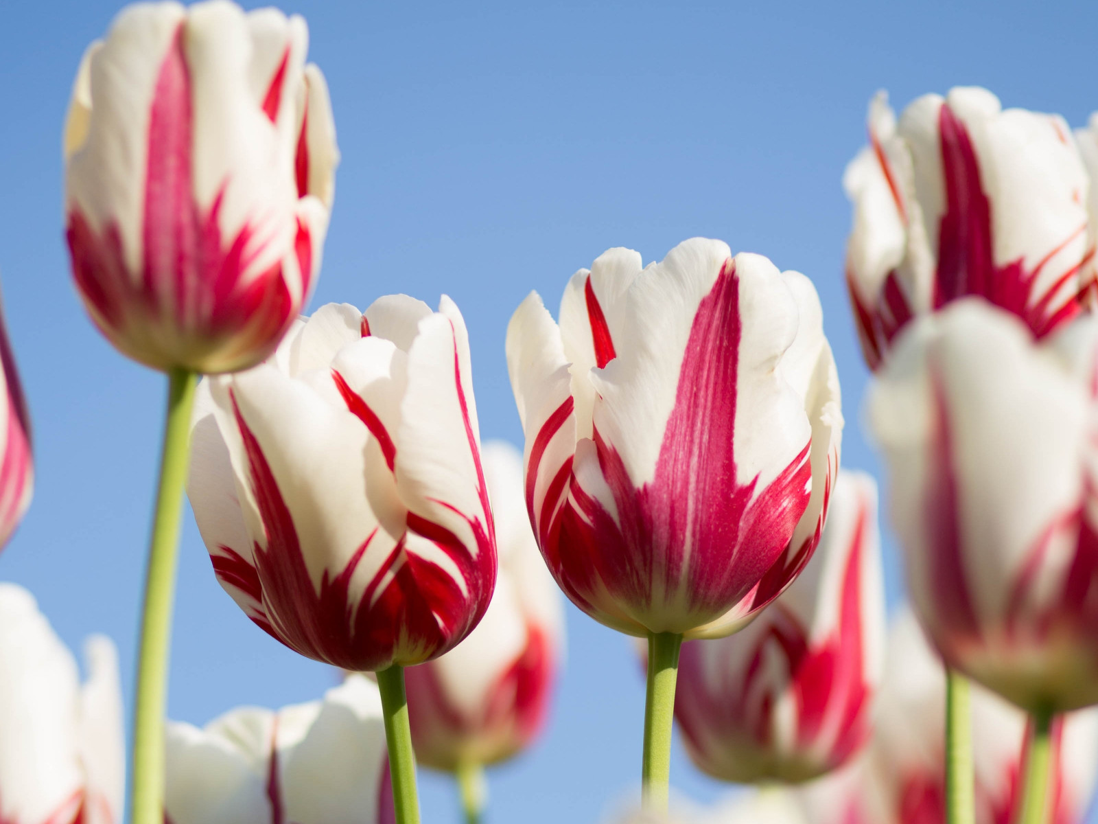 Red white tulips wallpaper 1600x1200