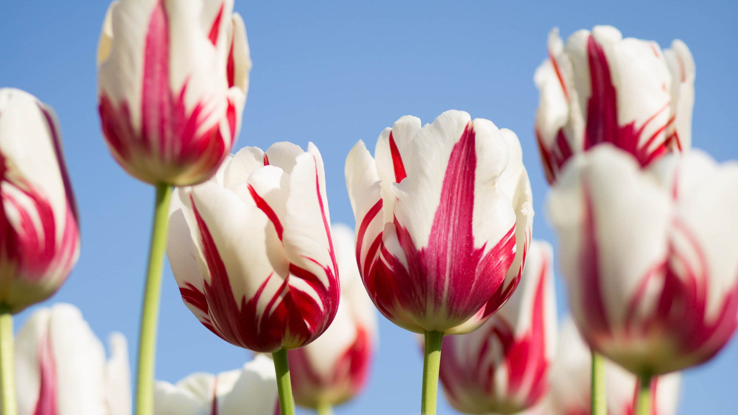 Red white tulips wallpaper 2560x1440