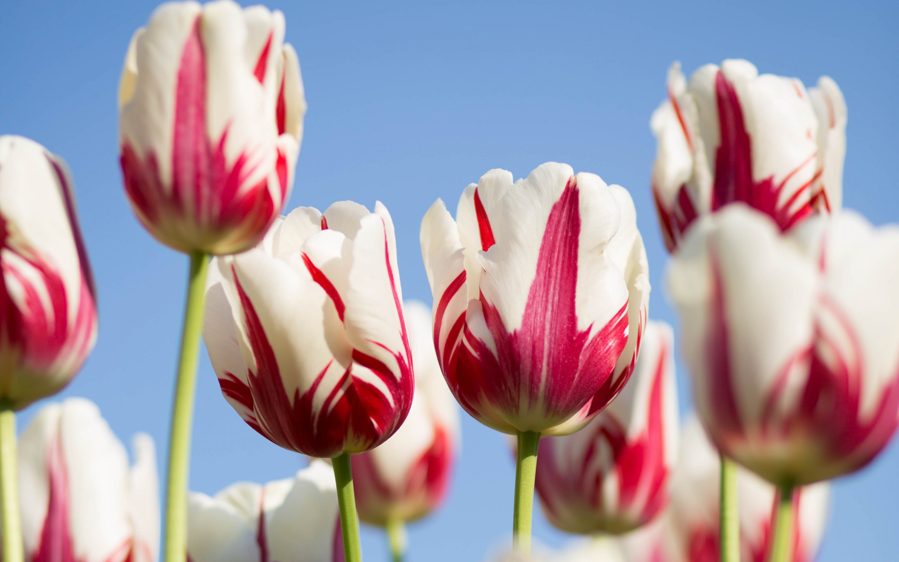 Red white tulips wallpaper 2880x1800