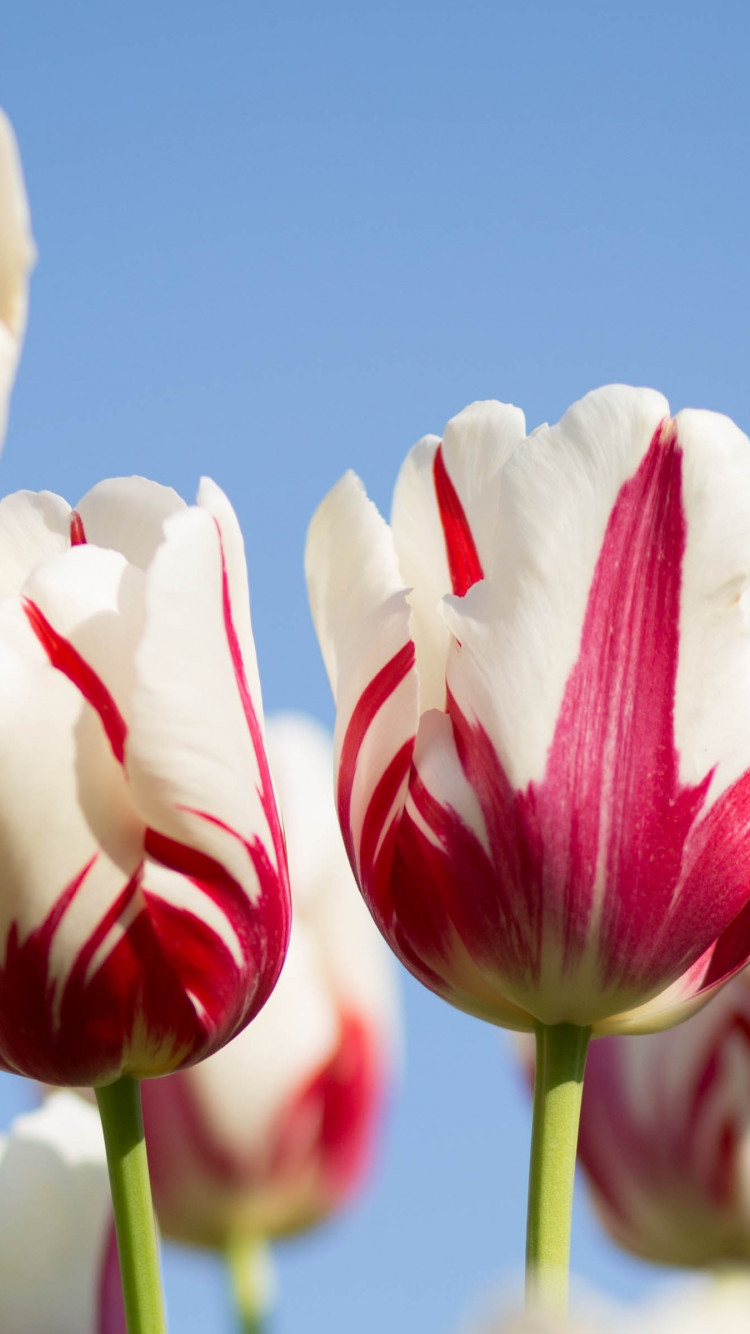 Red white tulips wallpaper 750x1334