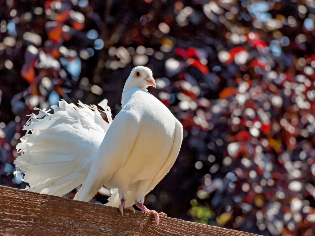 White pigeon wallpaper 1024x768