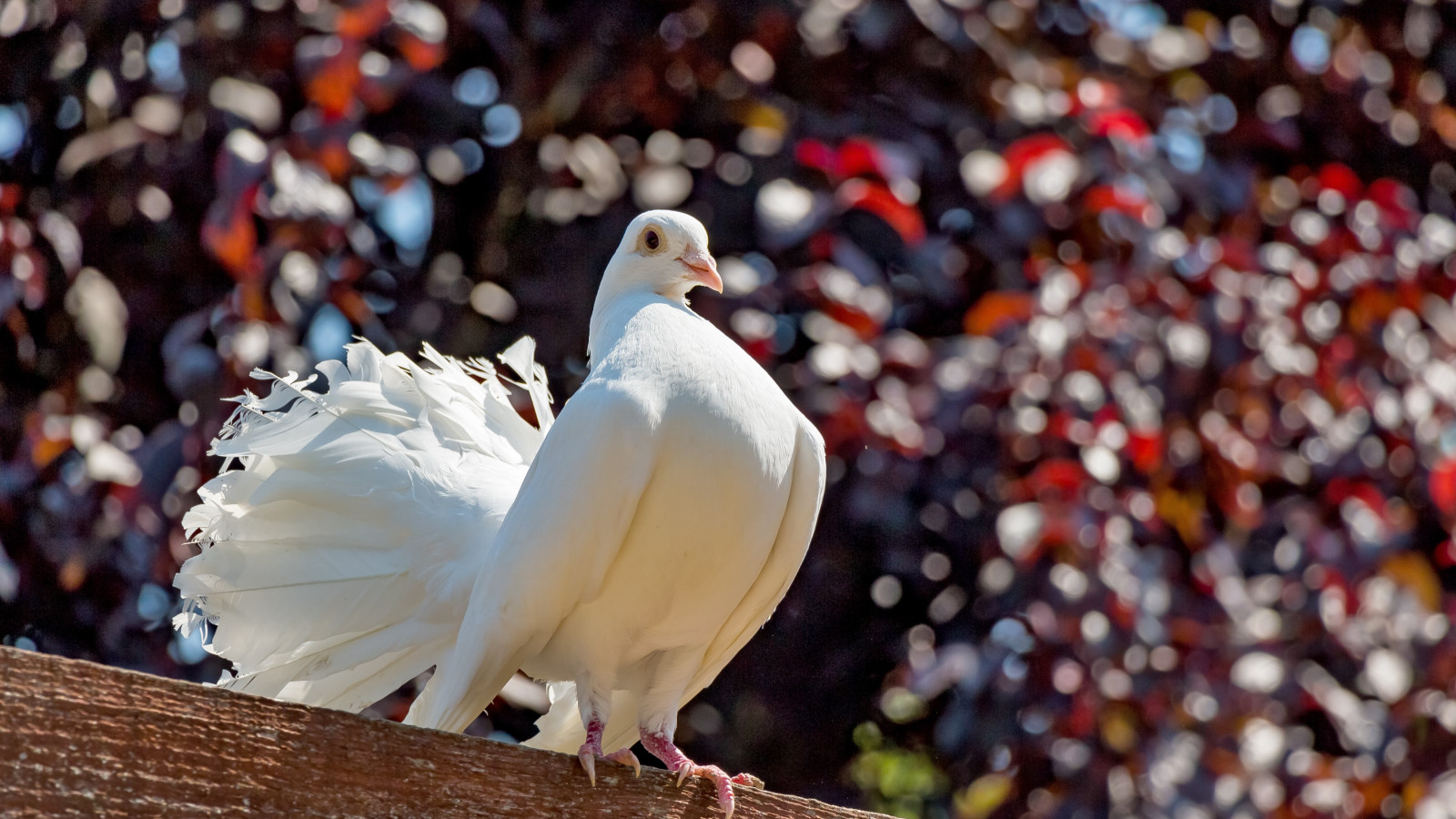 White pigeon wallpaper 1600x900