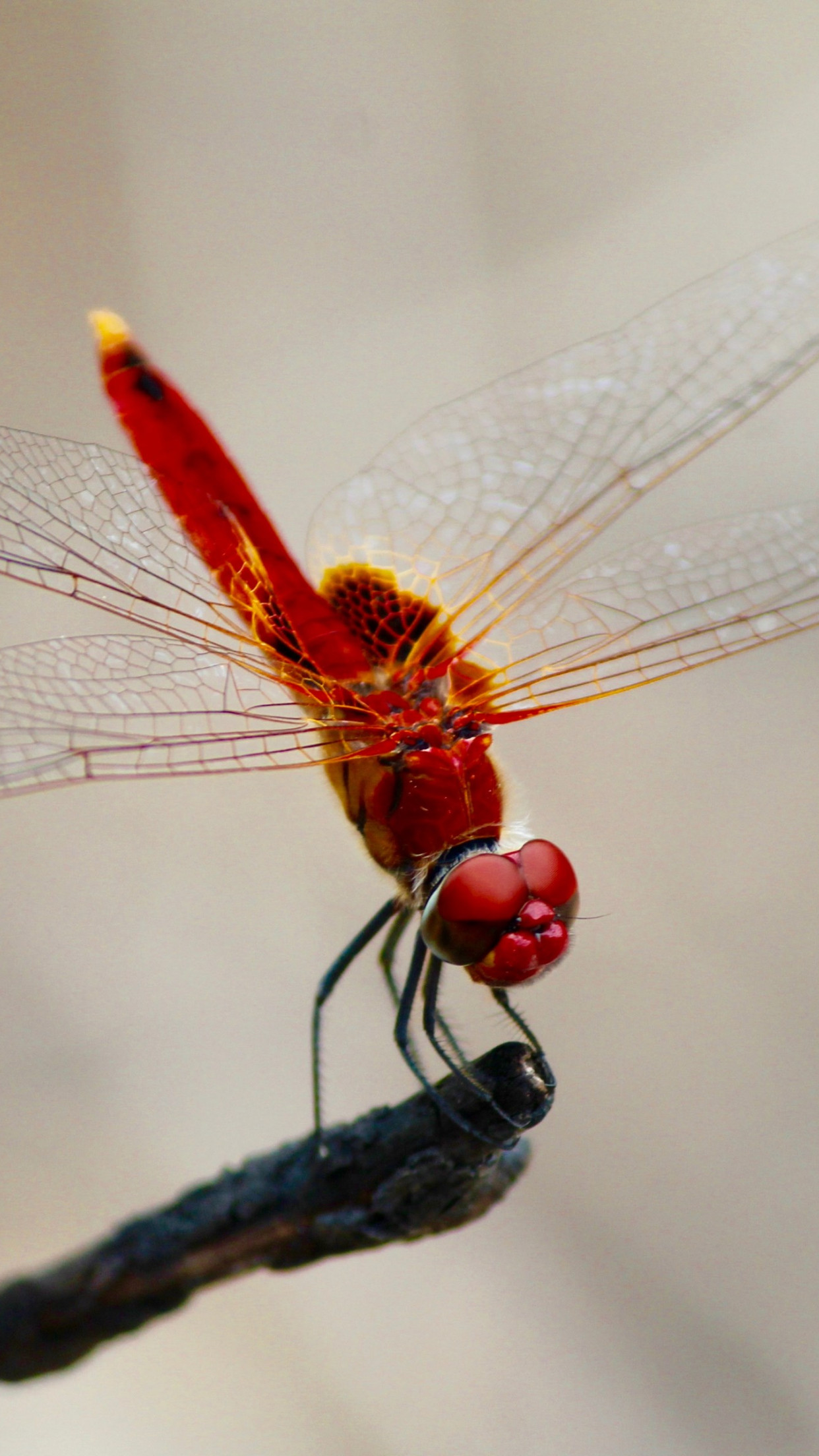 Red dragonfly | 1242x2208 wallpaper