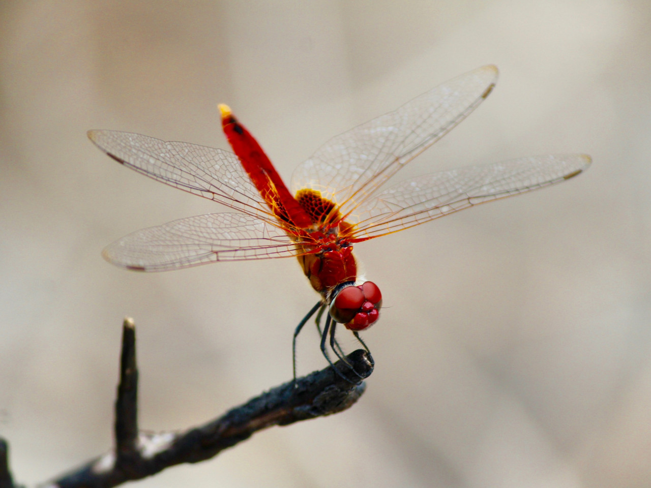 Red dragonfly wallpaper 1280x960