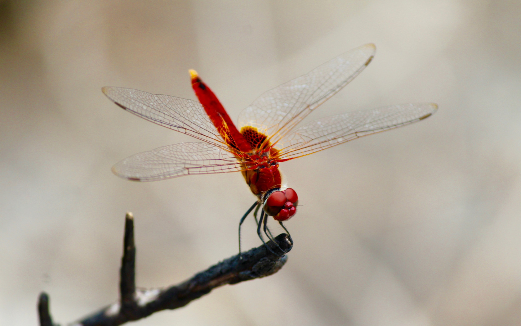 Red dragonfly wallpaper 1680x1050