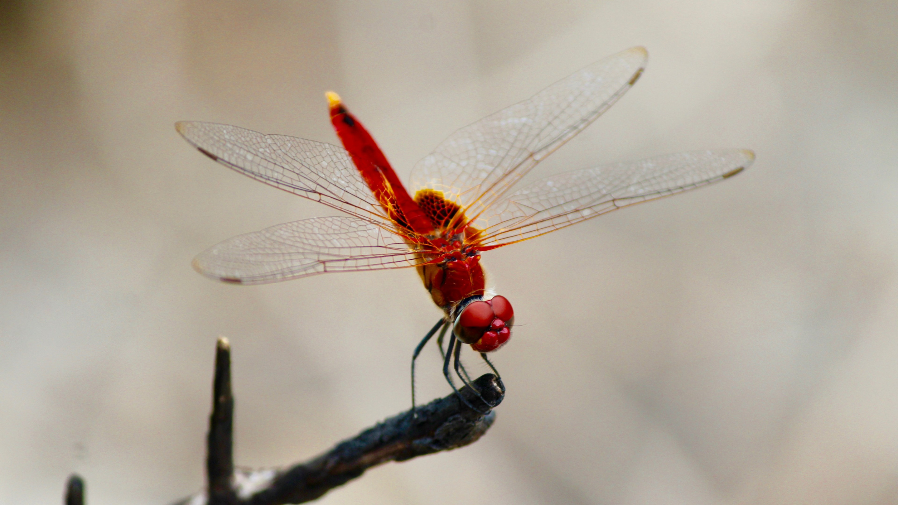 Red dragonfly wallpaper 2880x1620