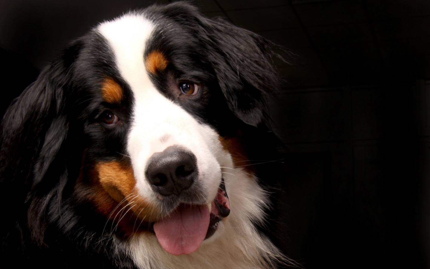 Bernese Mountain Dog wallpaper 1440x900