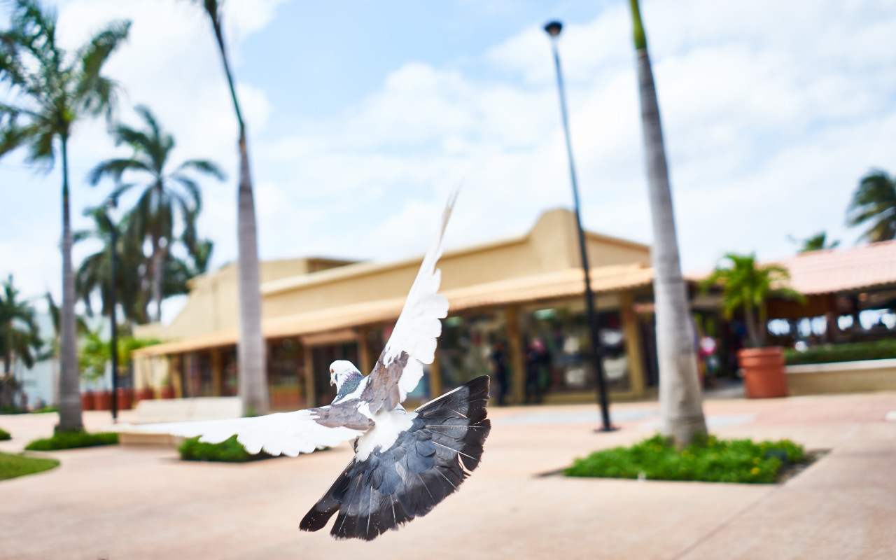 Flying pigeon wallpaper 1280x800