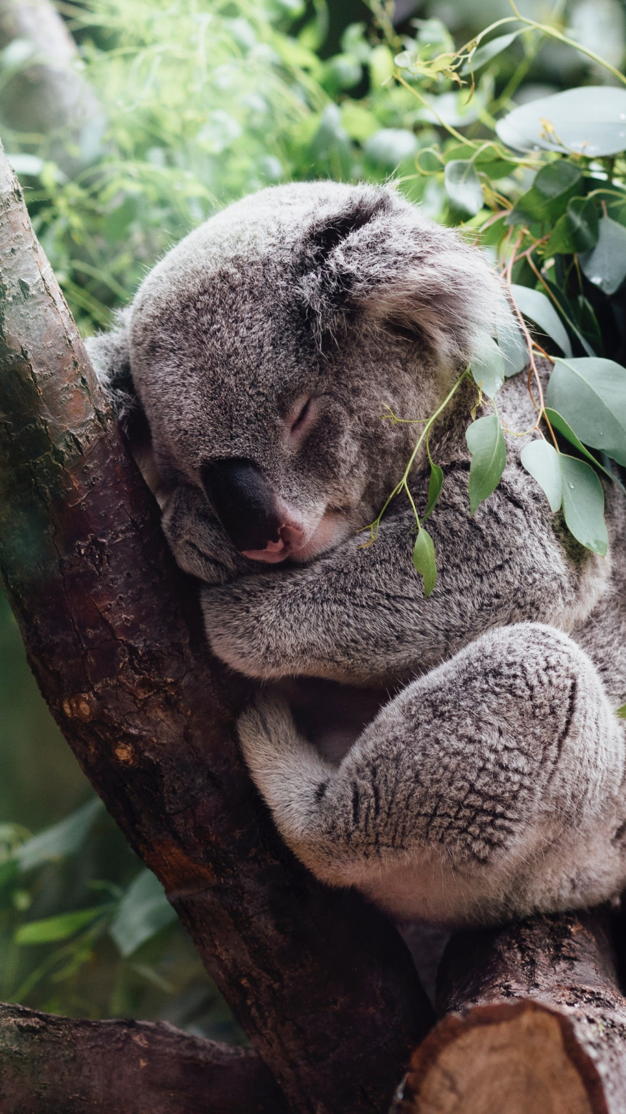 Koala bear wallpaper 1242x2208