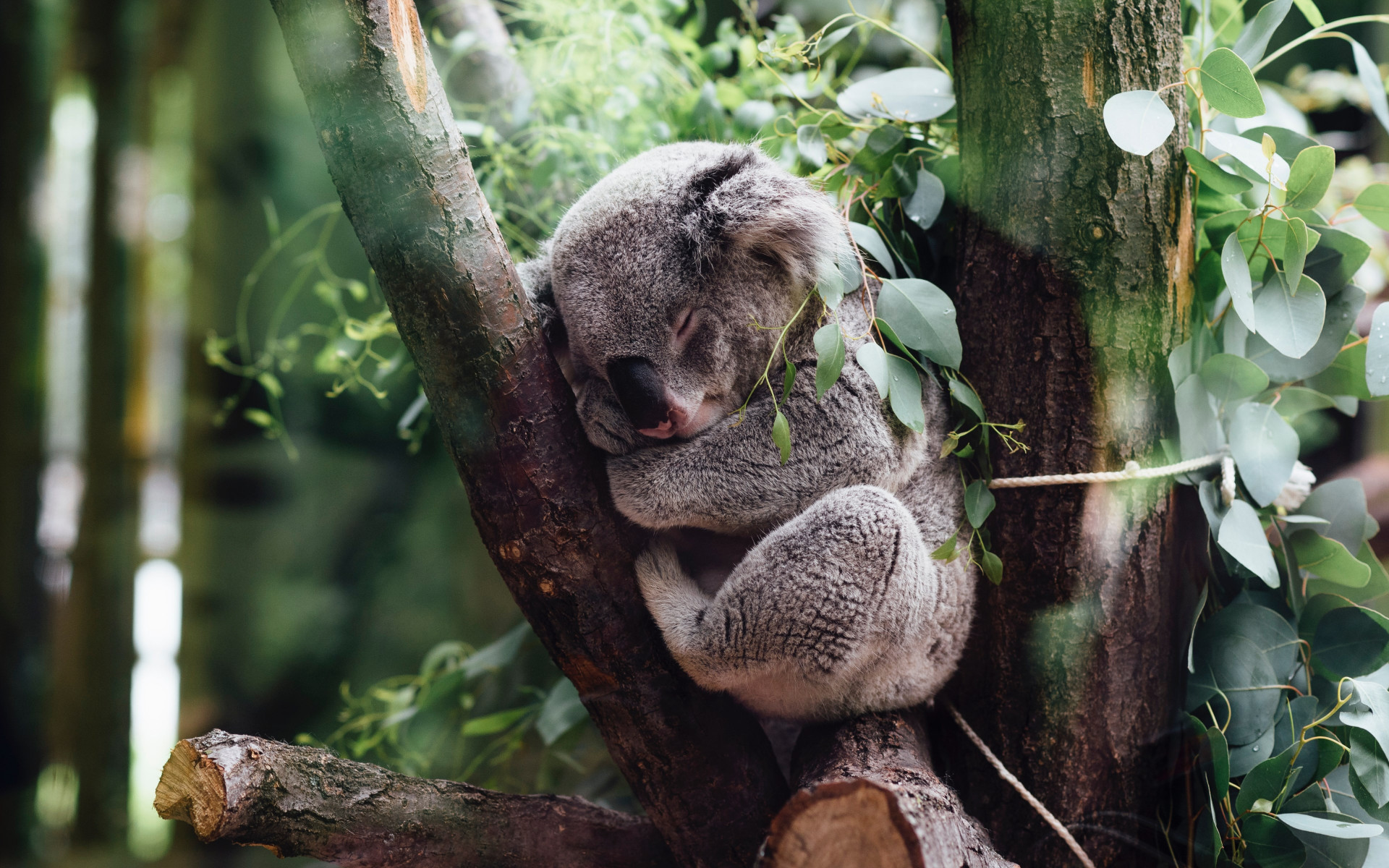 Koala bear wallpaper 1920x1200