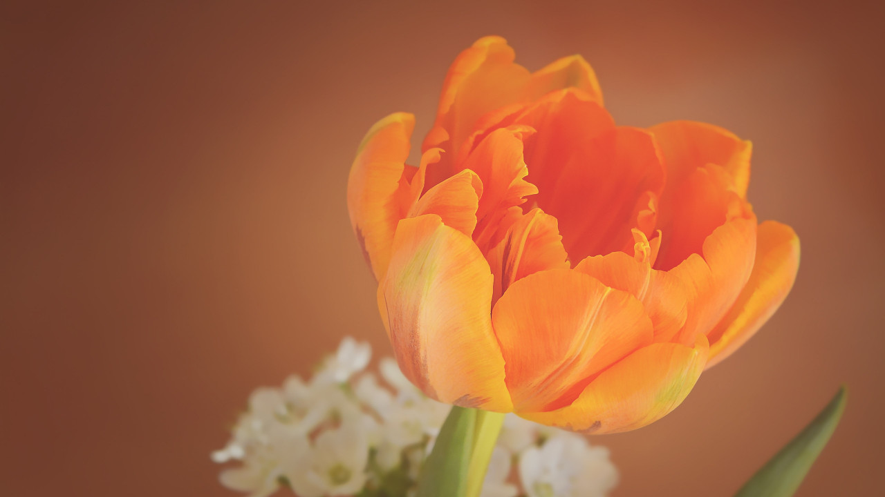 Orange tulip wallpaper 1280x720