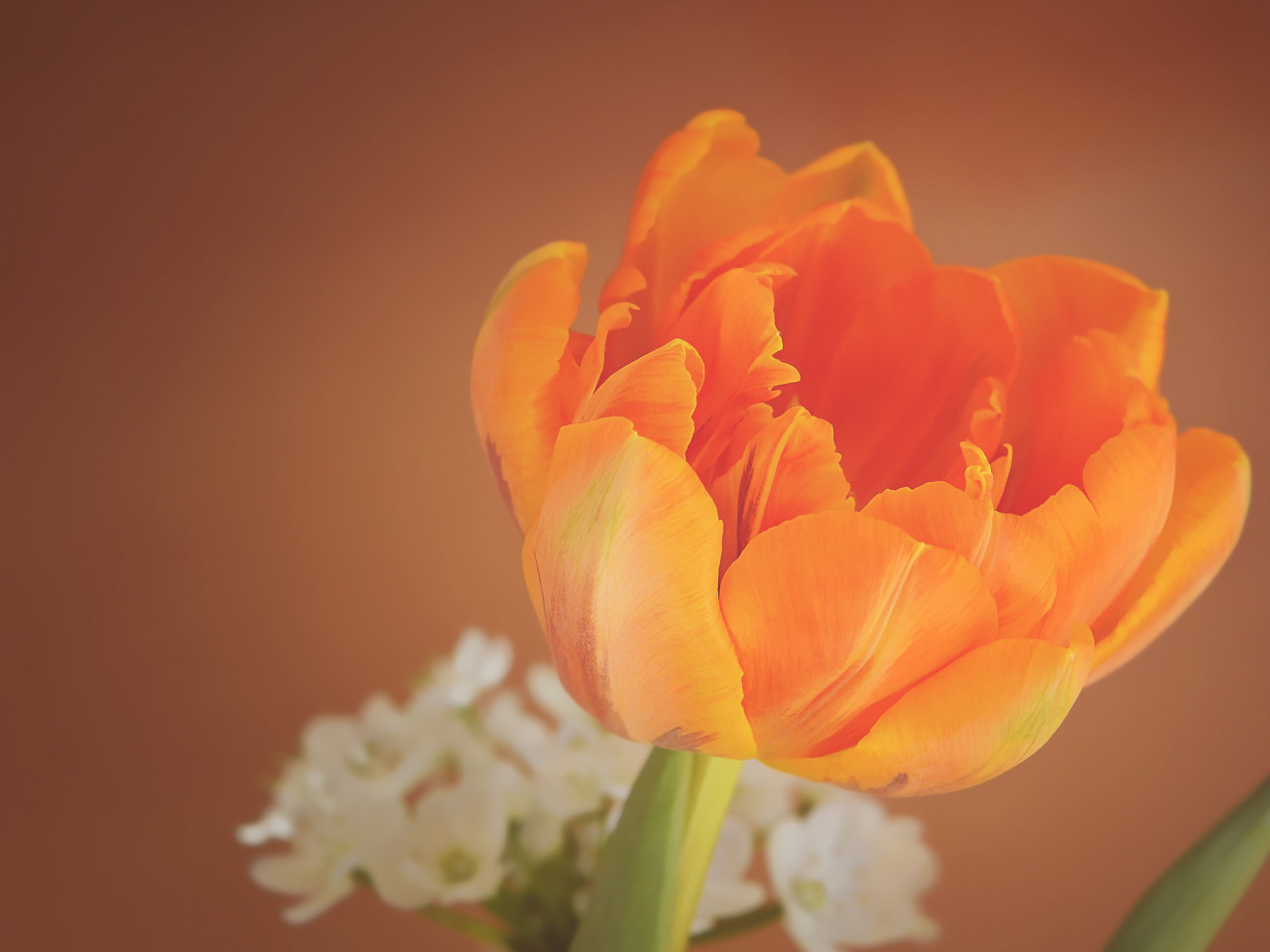 Orange tulip wallpaper 1280x960