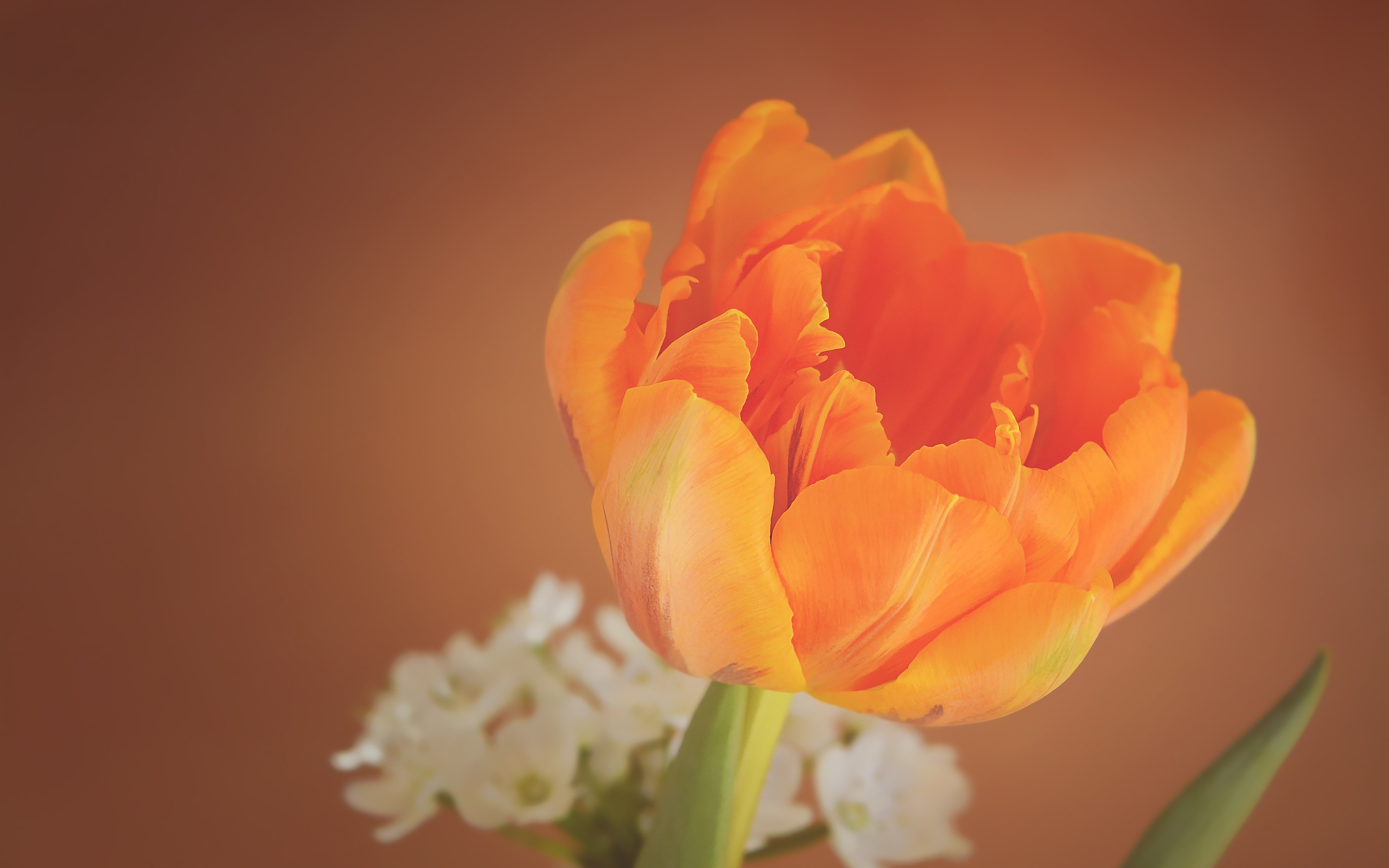 Orange tulip wallpaper 5120x3200