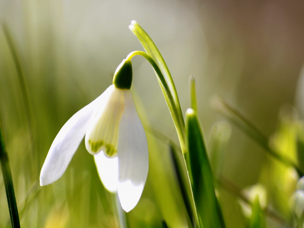 Spring is here. Snowdrop wallpaper 1024x768