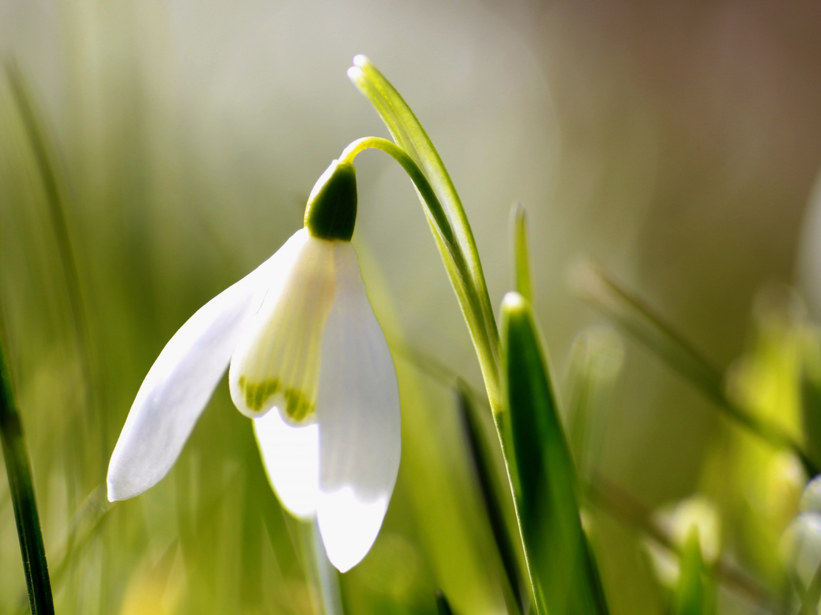 Spring is here. Snowdrop wallpaper 1600x1200