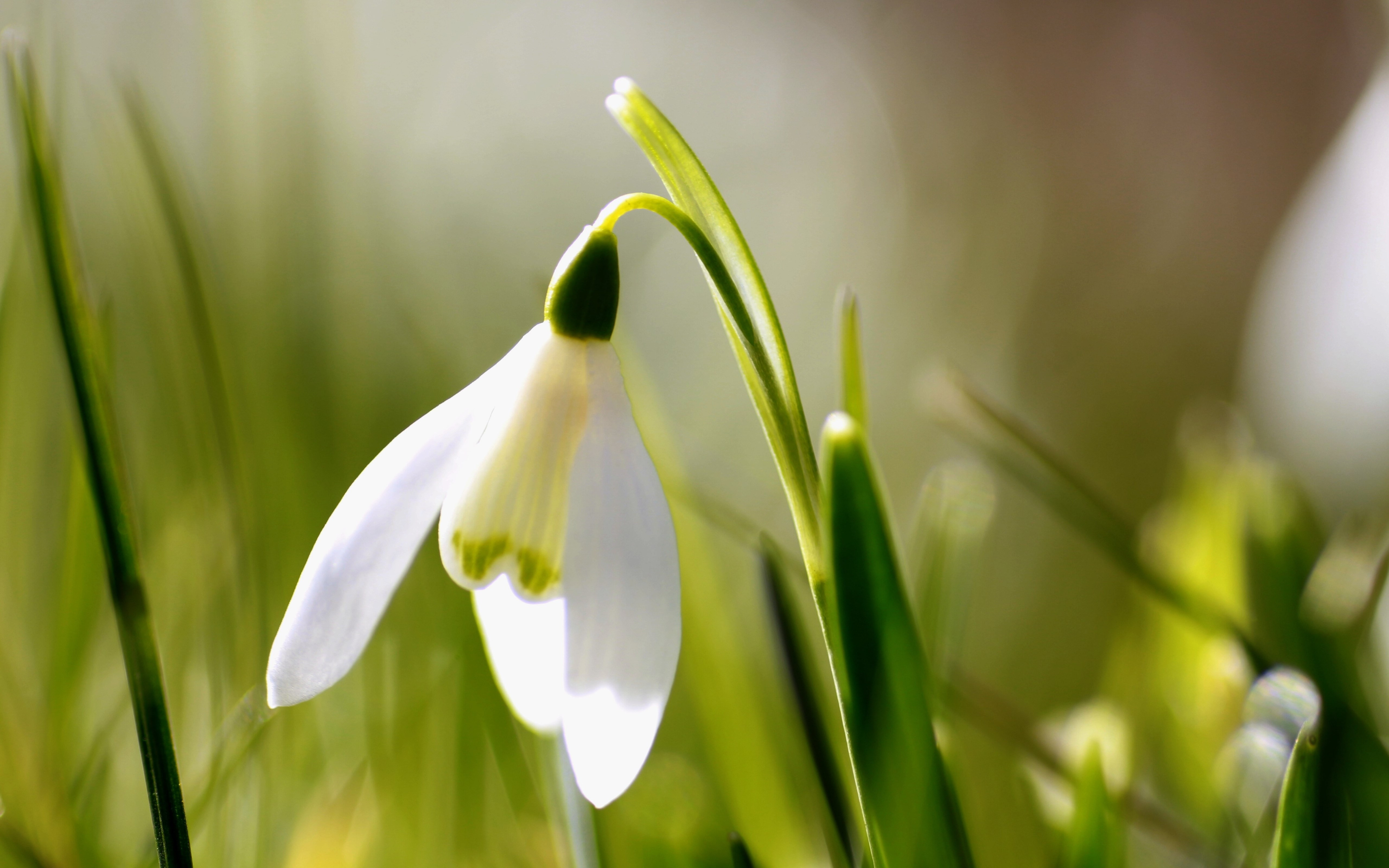 Spring is here. Snowdrop wallpaper 5120x3200