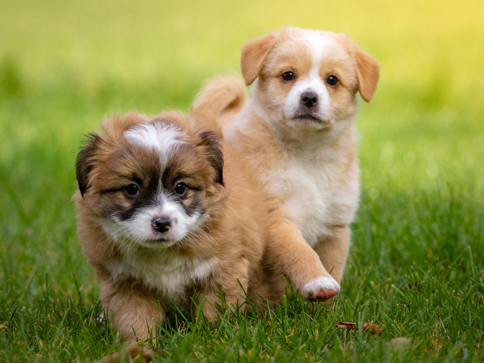 2 puppies wallpaper 1600x1200